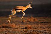 Springbok antelope (Antidorcas marsupialis) jumping, South Africa
