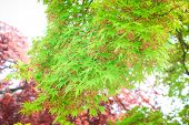 Green Maples On Tree