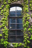Window With The Creeping Ivy Tree
