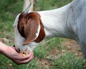 to feed the goat