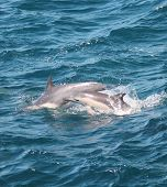 Mother dolphin and her calf
