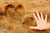 pic of hoof prints  - A hippopotamus foot print in the sand next to a female human adult - JPG