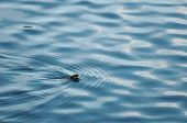 stock photo of snakehead  - European grass snake swimming in the water mirror - JPG