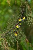 image of cocoon tree  - Colorful butterfly hanging on pine tree in the jungle - JPG