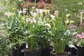 foto of arum lily  - Calla lily - JPG
