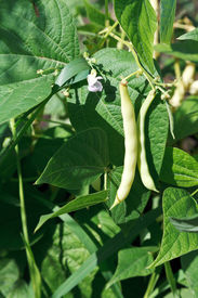 picture of phaseolus  - ripe pods of string bean plant in garden in summer - JPG