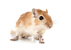 image of gerbil  - little gerbil in front of white background - JPG