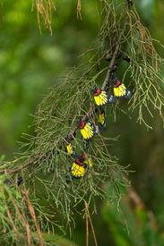 stock photo of cocoon tree  - Colorful butterfly hanging on pine tree in the jungle - JPG