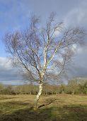Silver Birch Tree