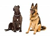 stock photo of staffordshire-terrier  - Staffordshire Terrier and German Shepherd sitting together looking up - JPG