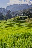 green hills and rice field