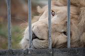 picture of zoo  - lion looked sad eye in cage at zoo - JPG