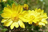 image of adonis  - Yellow flowers  - JPG