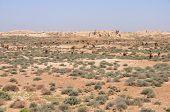 Camels In Turkmenistan