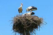 Group Of White Storks In Nest