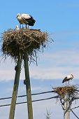 Storks In Nests