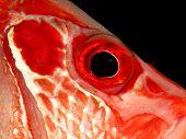 Detail of Longjawed squirrelfish