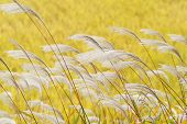stock photo of pampas grass  - silver grass with wind on a yellow background - JPG