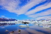 Cirrus cloud, drifting ice floes and flying geese are reflected in an ocean lagoon. Yokulsarlon Glacial Lagoon in Iceland