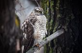 Saker Falcon In The Forest