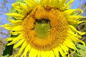 Sunflower Flower (helianthus Annuus)