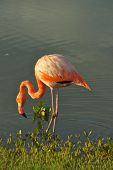 pic of flamingo  - Flamingoes are a type of wading bird - JPG