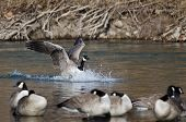 Canada Goose Landing In A Winter River