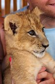 Girl Playing With A Little Lion Cub