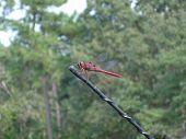 Drangonfly resting