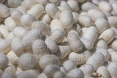 stock photo of larva  - White silkworm cocoon - JPG