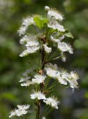 Prunus pensylvanica  or the pin cherry is a small tree native to the  north eastern United States and much of Canada.