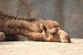 Camel Head
