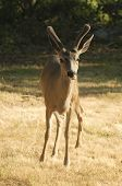 Californian Black-tailed Deer