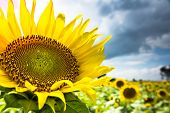 stock photo of riding-crop  - Sunflower field on rainy season - JPG