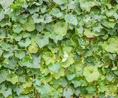 Green Leave Of Angled Luffa Plant