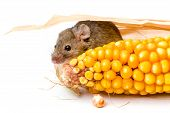House Mouse (mus Musculus) Hiding Behind Corn