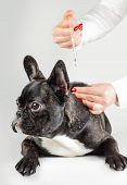 Vet To Vaccinate Young Dog Bulldog