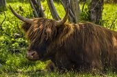 pic of highland-cattle  - close - JPG