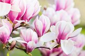 pic of magnolia  - Close up beautiful  of pink magnolia blossoms - JPG