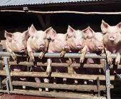 foto of farrow  - Young chattering pigs on the gate of their stable waiting for food - JPG