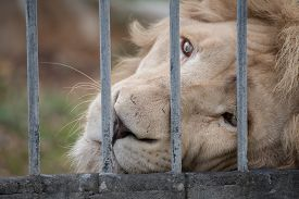 stock photo of zoo  - lion looked sad eye in cage at zoo - JPG