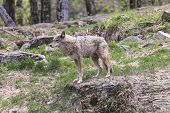 picture of coy  - A lone coyote in a summer scene - JPG
