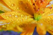 picture of cosmos  - Close up Cosmos sulphureus or Yellow Cosmos flower - JPG