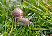foto of garden snail  - snail in the garden on the grass
