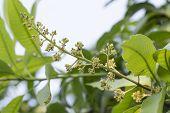 image of mango  - Yellow Mango Flower On Top Of Mango Tree - JPG