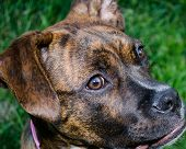 picture of dog ears  - Head view of a brindle box dog with natural ears - JPG