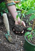 picture of tomato plant  - Gardener holding the clod of a tomato plant to plant it - JPG