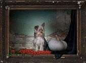 stock photo of yorkie  - Small yorkie posing in an old frame - JPG