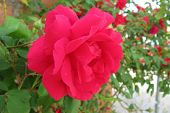 picture of climbing roses  - A close up of a red blooming rose flower - JPG
