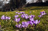 picture of spring break  - A spring meadow full of purple crocus blooming is illuminated by the sun - JPG